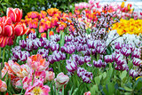 Bright fresh tulips