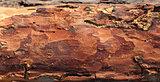 Wooden pine board