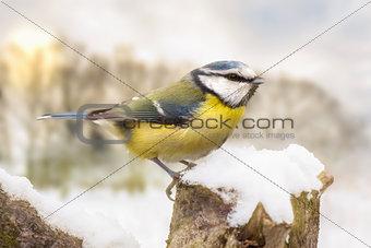 Little blue tit in winter snow