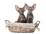 two peterbald kittens sitting in a wicker basket