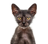 Kitten Lykoi cat, 3 months old, also called the Werewolf cat aga
