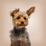 Yorkshire terrier in strong wind against beige background