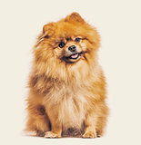 Spitz dog sitting against beige background