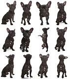 French Bulldog Poses
