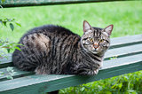tabby cat on the bench