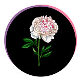 Beautiful peony flower in a black circle. Floral vector.