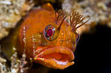 Fringehead fish close-up