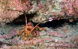 Spiny Lobster (Panulirus interruptus)