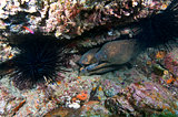California moray eels (Gymnoyhorax mordax)