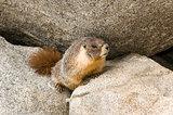 Wild Marmot (Marmota)