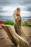 Monkey over trunk in Arashiyama mountain