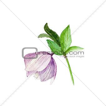 Watercolor botanical illustration of hellebore isolated on white background