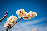 Apricot blossom. Fresh spring background