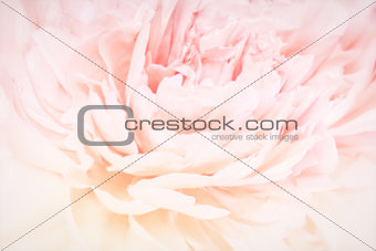 Peony flowers blossom delicate blured frame. Shallow depth. Greeting card background. Floral template. Soft pastel toned