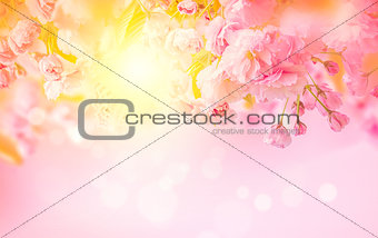 Beautiful sakura pink flower cherry blossom and sun background. Greeting card template. Shallow depth. Soft toned. Spring nature