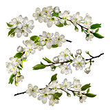 Set of Blossoming cherry white flowers