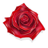 Stock Illustration Scarlet Rose