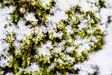 Detail shot of a texture with snow and green moss