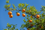 Oranges on the tree on blue sky background.