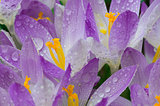 Photo close small spring flowers crocuses