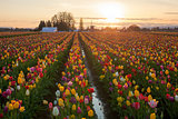 Sunset over Tulip Fields