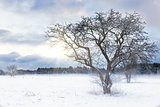 Bare tree in a snow field with sunrise