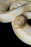 Male Albino Ball Python