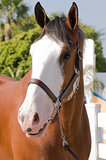 Clydesdale horse close-up
