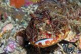 Rockfish along Flame Reef, Santa Cruz Island, CA