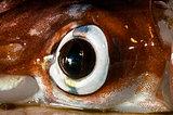Squid Eye close-up with Chromatophores