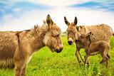 family of donkeys grazing in a green meadow