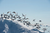 Black-legged Kittiwake on iceberg