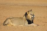 African lion - Kalahari desert