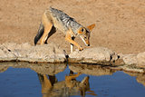 Black-backed jackal at a waterhole