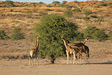 Giraffes feeding on a tree