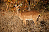 Impala antelope - Kruger National Park