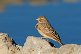 Lark-like bunting at a waterhole