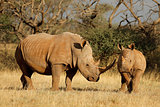 White rhinoceros and calf