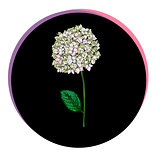 Beautiful phlox flower in a black circle. Floral vector.