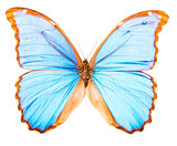 Morpho didius tropical butterfly isolated