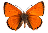 Male large copper butterfly isolated
