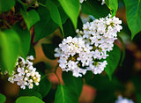 White lilac flowering