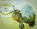Red-eared turtle peeks out of the water.