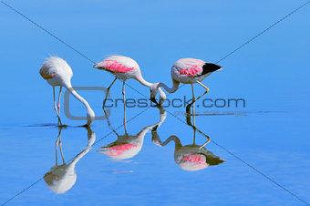 Three pink big birds Flamingo in the water.