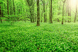 Wild garlic in deep forest.