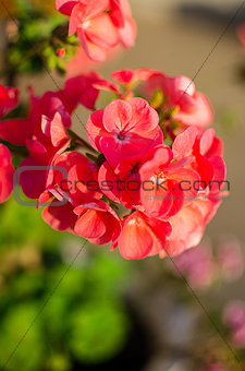 bright pelargonium decorate the yard