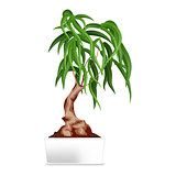 Bonsai in white pot