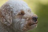 Cavapoo dog portrait