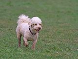 Cavapoo dog running