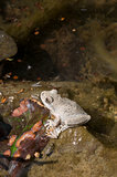 A wild grey Californian Treefrog in creek